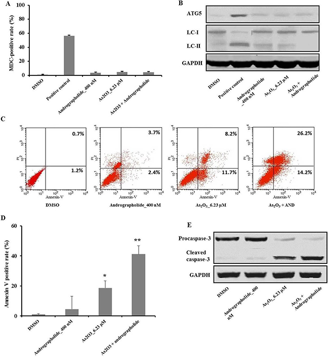 Andrographolide increased As2O3-induced apoptosis in HepG2 cells, which was independent of autophagy.