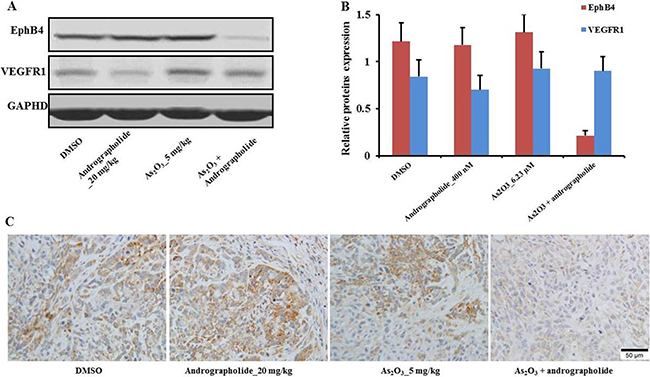 EphB4 downregulation enhanced andrographolide's promotion of As2O3 anti-tumor effects in vivo.