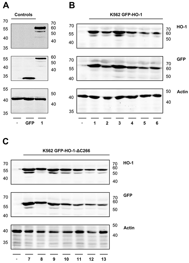 Analysis of protein expression of the generated monoclonal stable K562 cell lines by Western blot.