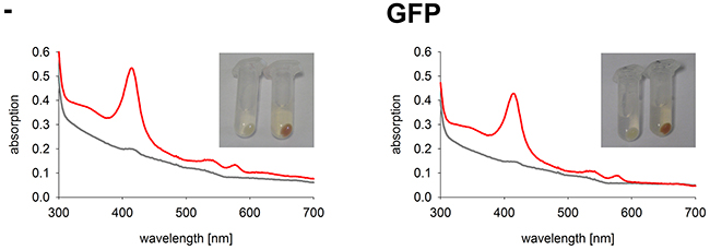 Hemoglobin synthesis experiments in a K562 cell line expressing GFP.
