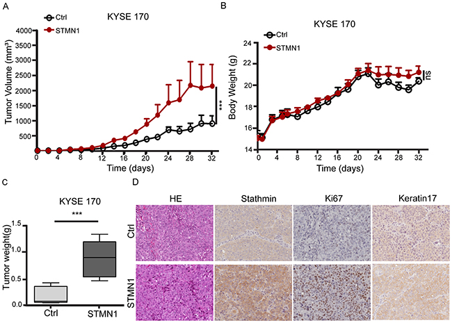 Stathmin overexpression increased xenografted tumor growth.
