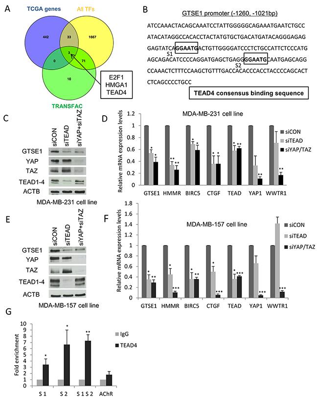 Identification of TEAD, E2F1 and HMGA1 transcription factors as novel regulators of GTSE1 expression.