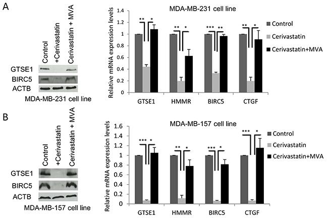 The Mevalonate pathway regulates GTSE1 expression.