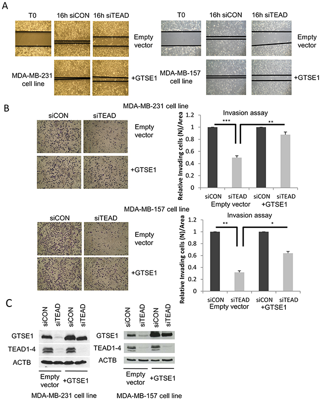 TEAD regulates breast cancer cell migration and invasion through GTSE1.