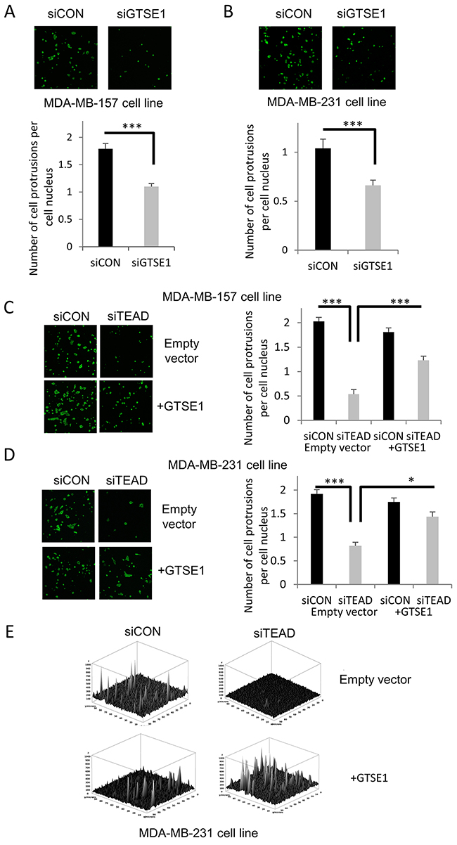 TEAD4 modulates the formation of cell protrusions through GTSE1.
