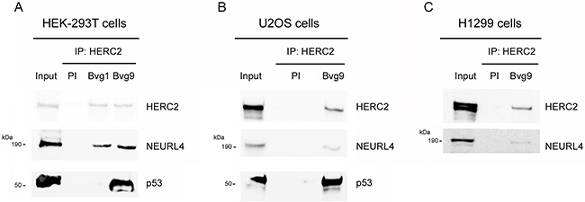 Interaction network between NEURL4, HERC2, and p53 proteins.