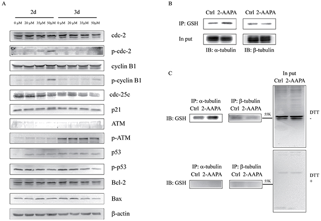 Identification of proteins potentially regulated by 2-AAPA in TE-13 cells.