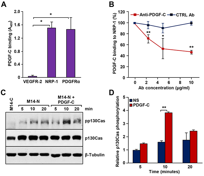 PDGF-C binds to NRP-1 in vitro and stimulates signal transduction in M14-N cells.