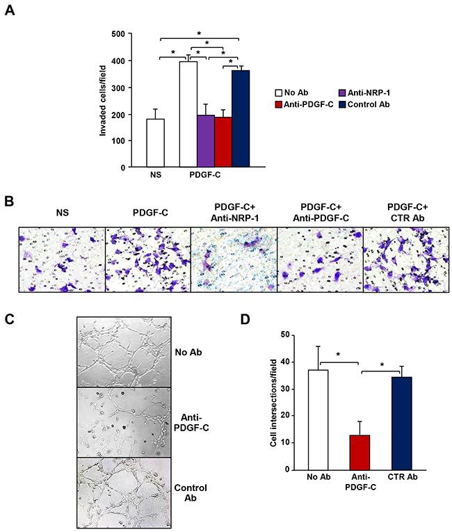 PDGF-C promotes the aggressive phenotype of M14-N cells.