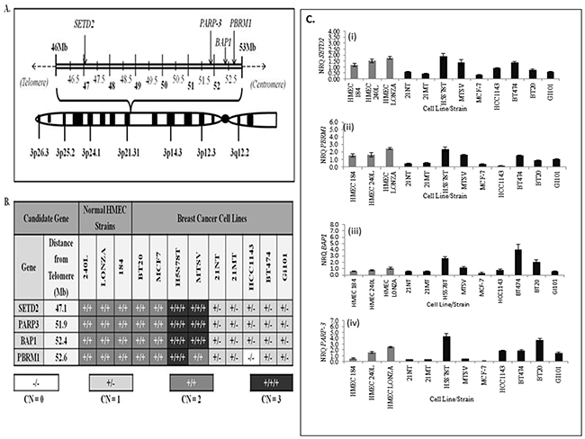 Figure 2:The genomic positions and gene copy numbers of SETD2, PARP3, BAP1 and PBRM1 within a panel of breast cancer cell lines and normal human mammary epithelial cell (HMEC) strains.