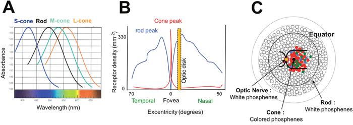 Oncotarget | Mechanisms of phosphenes in irradiated patients