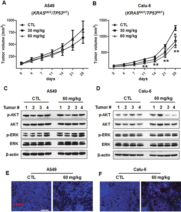 In vivo antitumor efficacy of AZD1775 in xenograft models of KRASMUT/TP53WT and KRASMUT/TP53MUT lung cancer.