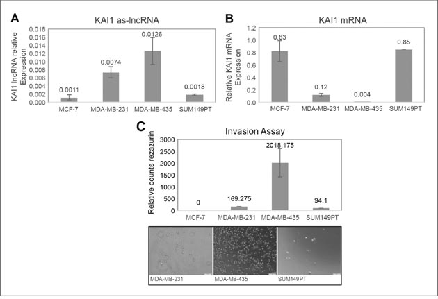 Expression in breast cancer cell lines of KAI1 as-lncRNA, KAI1 mRNA, and comparison of their in vitro invasion potency.