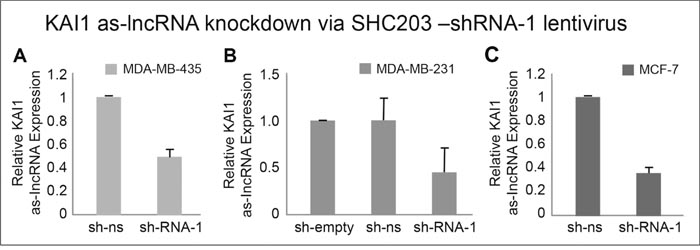 Quantitation of KAI1 as-lncRNA following its shRNA mediated knockdown in MDA-MB-231, MDA-MB-435 and MCF-7 cells.