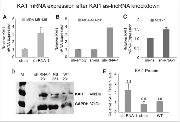 KAI1 mRNA and protein expression following KAI1 as-lncRNA knockdown.