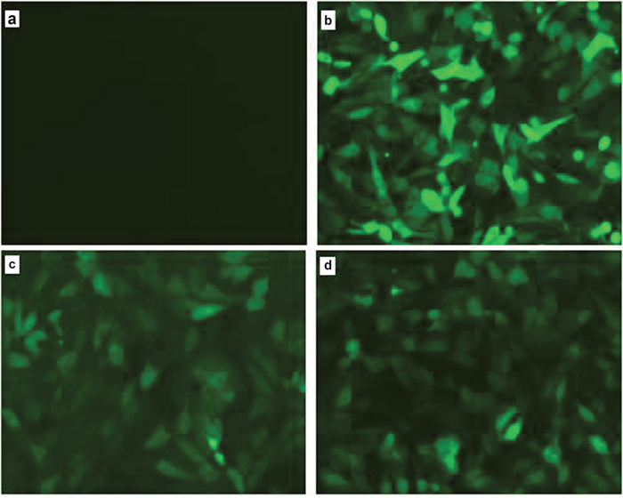Observation of green fluorescence in PK15 cells transfected with IRF3/IRF7 expression vectors.