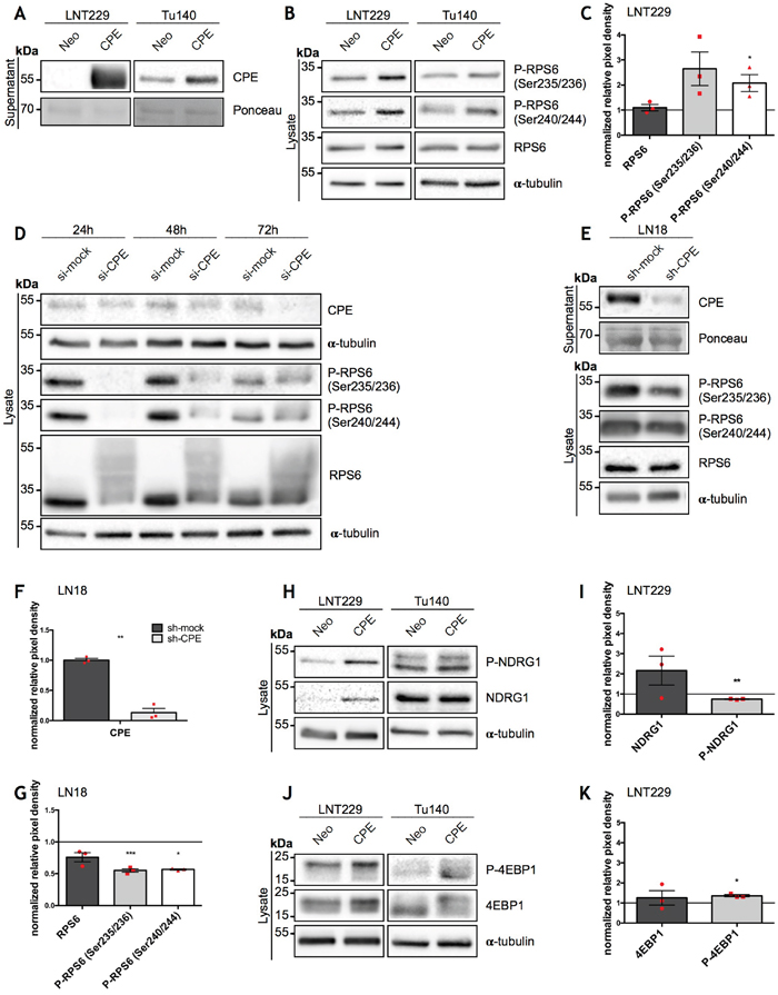 Overexpression of sCPE results in mTORC1 activation while CPE knockdown leads to decrease of its activity.