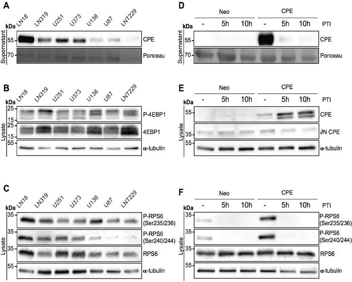 Secreted CPE induces RPS6 phosphorylation.