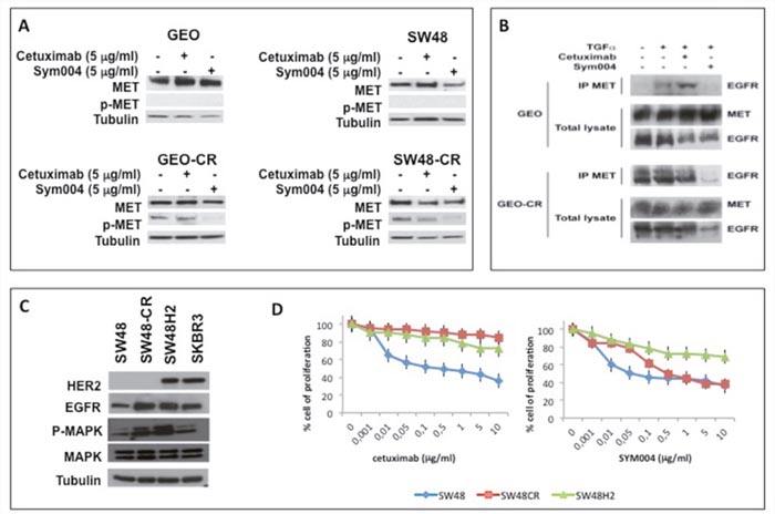 Effects of cetuximab or SYM004 in human colorectal cancer cell lines with acquired resistance to cetuximab such as MET activation and ERBB2 amplification.