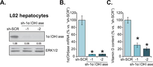 Knockdown of 1α(OH)ase leads to vitamin D3 depletion in L02 hepatocytes.