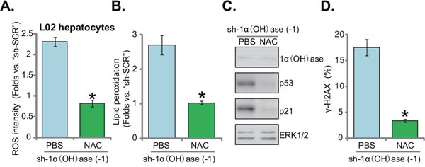 N-acetylcysteine blocks ROS production, p53-p21 activation and DNA damage in 1α(OH)ase-silenced L02 hepatocytes.