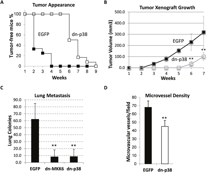 Tumor growth and lung metastasis of MDA-MB-231 cell xenografts in the orthotopic model.