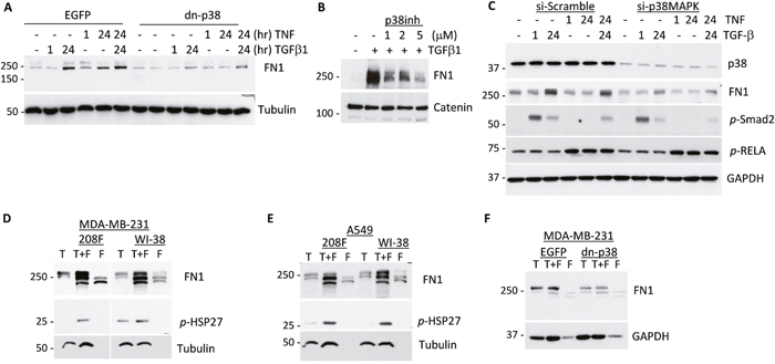 p38MAPK signaling contributes to expression of Fibronectin in response to cytokines and tumor-fibroblast interactions.
