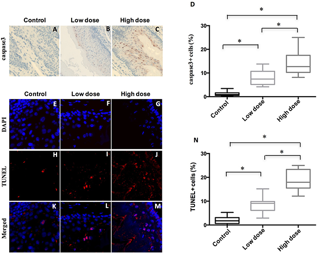 Treatment of A-1210477 promoted cell death in mouse ESCC.