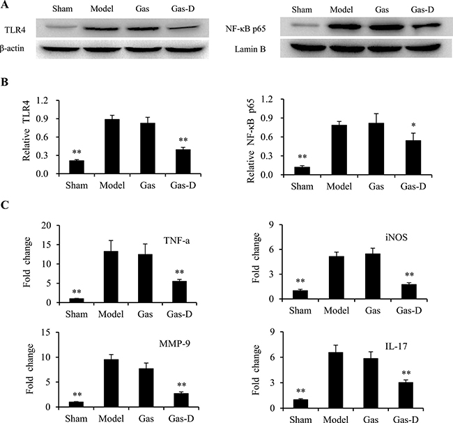 Effects of gastrodin (Gas) and its derivative (Gas-D) on TLR4/NF-kB signaling and inflammatory response in transient MCAO rats.