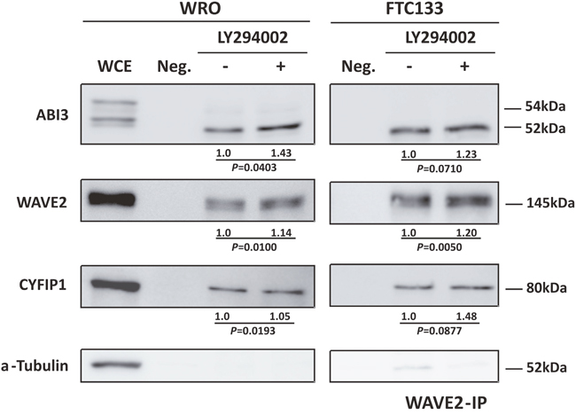 Co-immunoprecipitation of ABI3, WAVE2 and CYFIP1 after LY294002 treatment showing that AKT pathway not only interfere in ABI3 phosphorylation but also in its affinity to WRC complex.