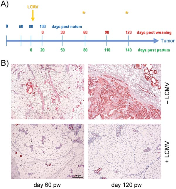 Analyses of mammary glands at days 60 and 120 pw.