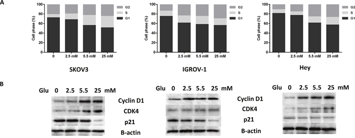 Glucose affects cell cycle progression in ovarian cancer cells.