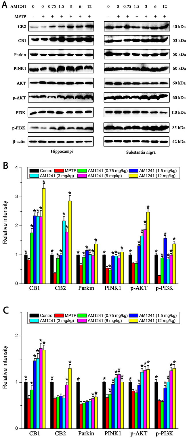 Levels of CB1, CB2, PINK1, Parkin, p-PI3K and p-AKT in the substantianigraand hippo of mice of control group, MPTP group and AM1241 treatment groups.