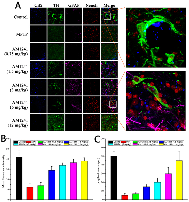 Immuno staining for neurogenesis in substantia nigra of MPTP-induced PD mice.