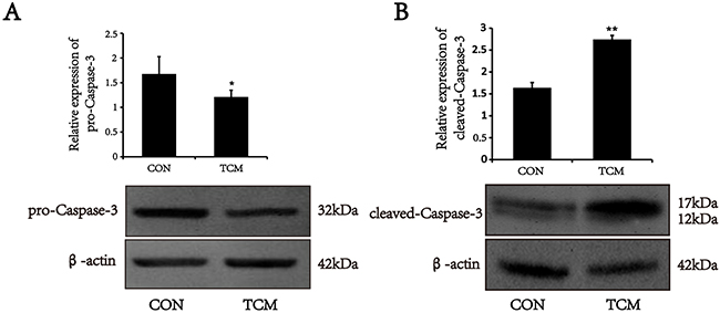 Effects of TCM on the activation of caspase-3 in VSMCs.