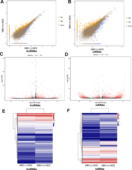 Differentially expressed lncRNAs and mRNAs between HBV (+) HCC and HBV (–) HCC tissue samples.