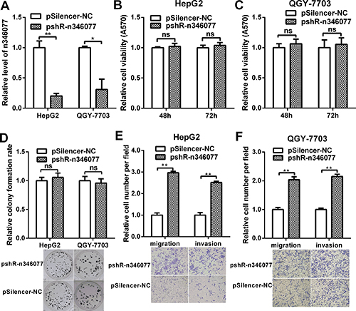 The effect of n346077 knockdown on malignant behavior of HCC cells in vitro.
