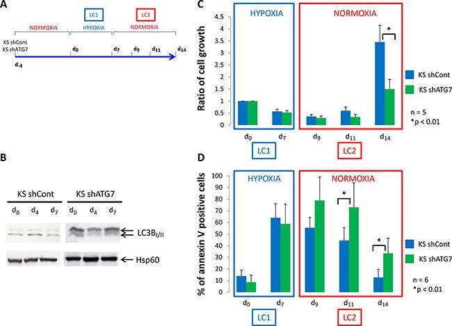 Low oxygen concentration decrease proliferation of K562 cells.