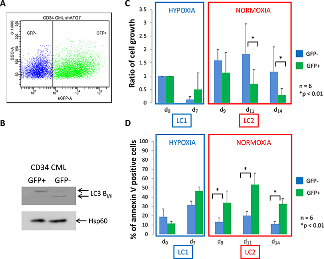 CML CD34+ cells deficient for autophagy have impaired proliferation and show apoptosis back to atmospheric O2 concentration.