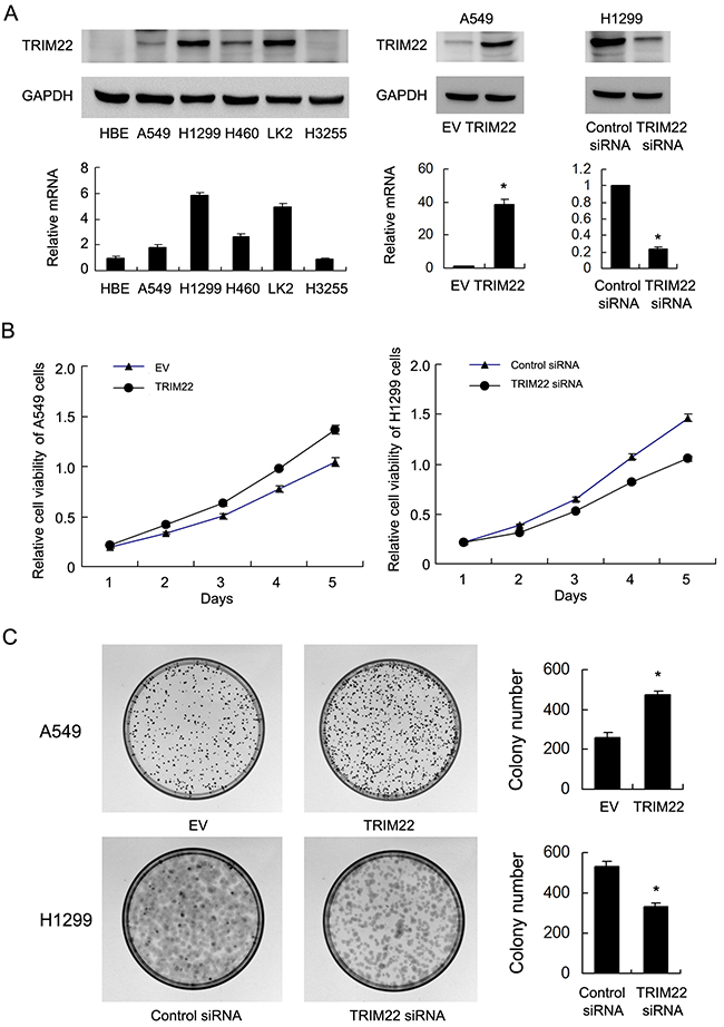 TRIM22 expression in lung cancer cell lines and its role on proliferation and colony formation.