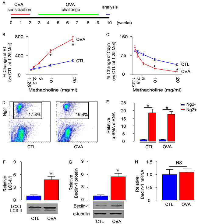 Enhanced ASM cell autophagy is detected in mouse lung after OVA treatment.