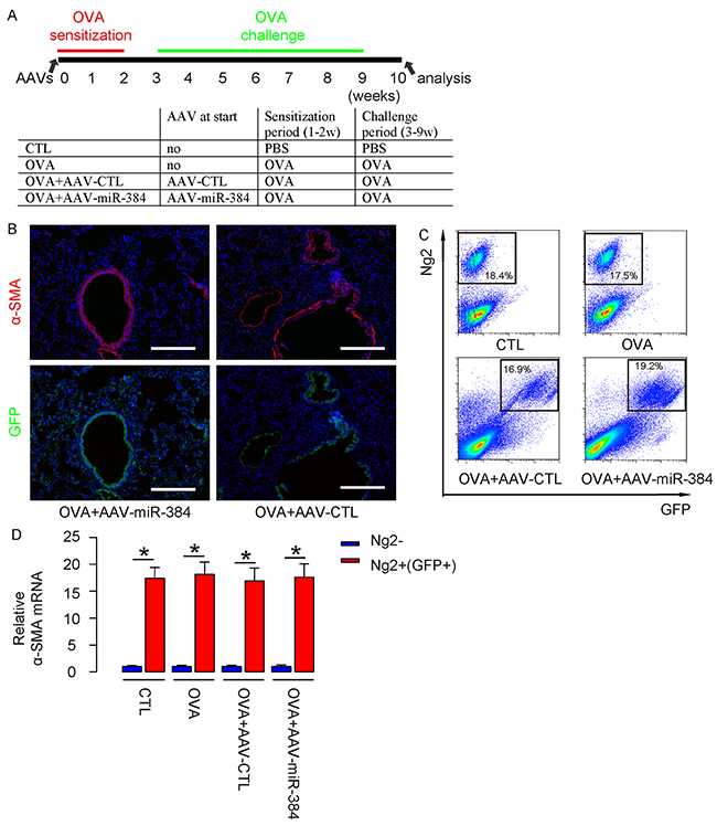 Successful in vivo re-expression of miR-384 in ASM cells.