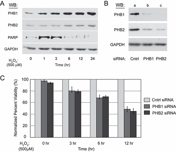 Kit225 cells unable to upregulate PHB1 and PHB2 are more sensitive to ROS-mediated cell death.