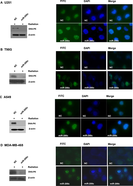 Overexpression of miR-200c led to prolonged γH2AX focus formation and p-DNA-PKcs downregulation.