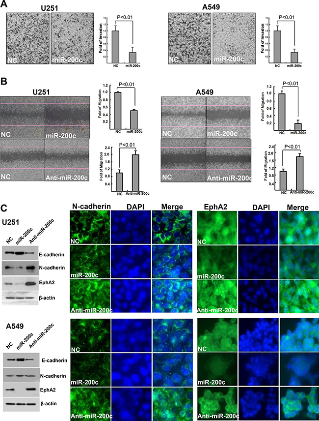 Effects of miR-200c on invasion and migration potential and E-cadherin, N-cadherin, and EphA2 expression.