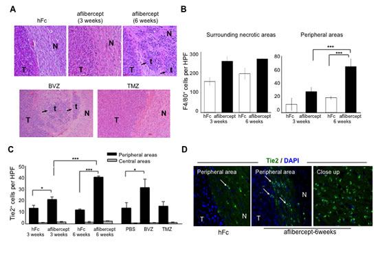 Accumulation of tumor-infiltrating microglia/macrophages and Tie2