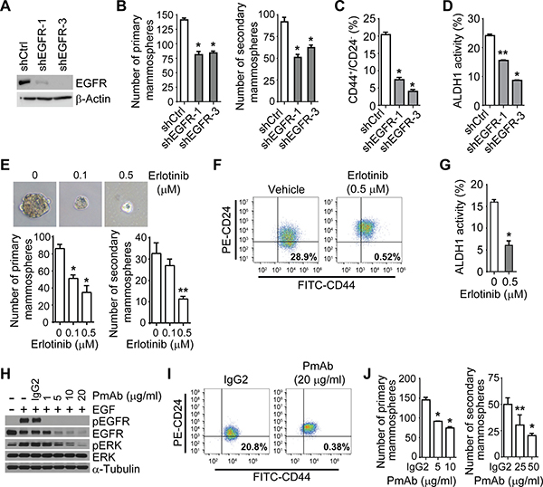 The EGFR pathway regulates the IBC cell population that expresses CSC markers.