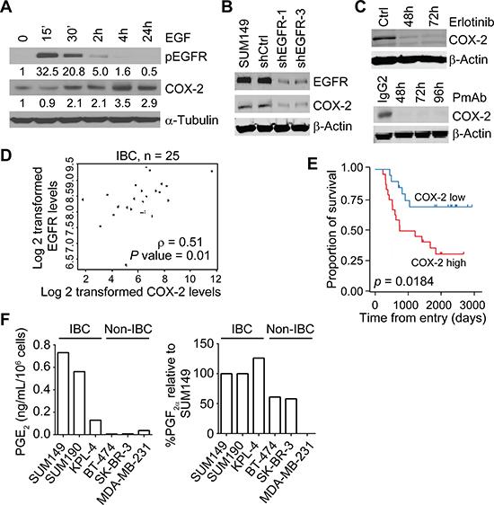The EGFR pathway regulates COX-2 in IBC.