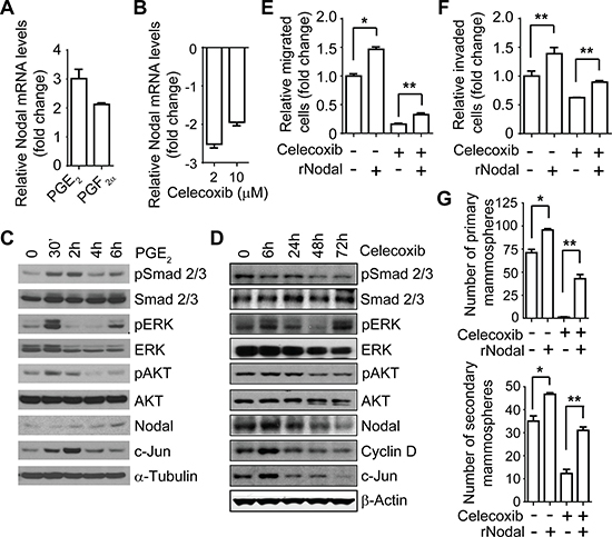 COX-2 pathway-regulated migration, invasion, and stem-like cell population are mediated by Nodal in IBC cells.