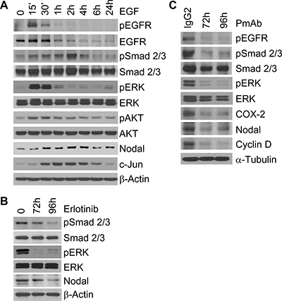 The EGFR pathway regulates Nodal signaling in IBC cells.